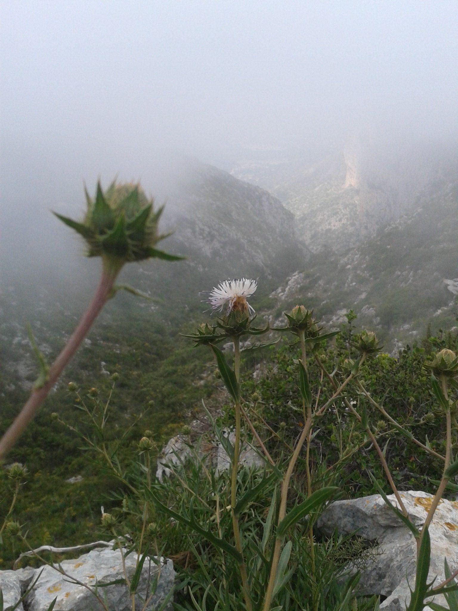 Card sant, endemisme iberollevantí-balear, emblema del parc natural del montgó.albergxabiahostel.com